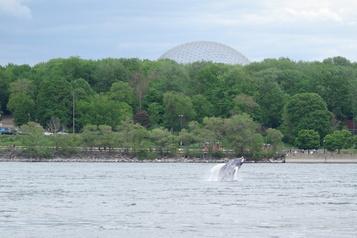 Une baleine à bosse sème l'émoi autour de Montréal)