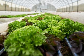 Autonomie alimentaire Québec veut doubler le volume de culture en serre d'ici cinq ans )