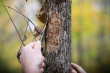 Montréal abattra 40000frênes touchés par l'agrile