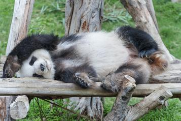 Un nouvel habitat pour quatre pandas en Chine