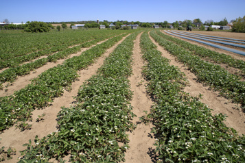 Hausse des limites de pesticides Ottawa suspend tous les projets en cours)