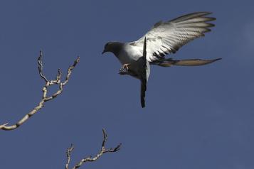 Perdu par un pigeon voyageur il y a 110ans Un message militaire allemand ressurgit en Alsace)