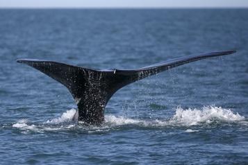 Les engins de pêche nuisent à la reproduction des baleines noires)