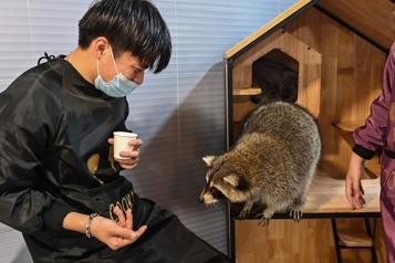 Chine Iguane ou raton laveur? Boom du «café animalier» exotique)