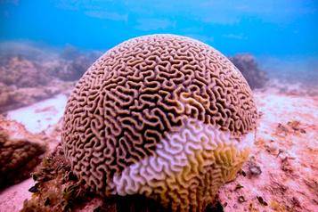 La barrière de corail du golfe du Mexique menacée)