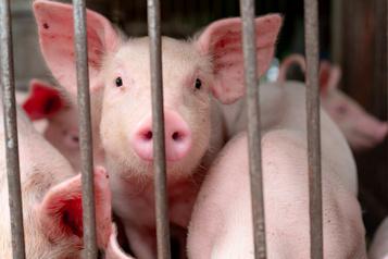 Découverte d'un virus de grippe porcine propice à une prochaine pandémie)