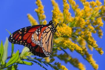 Papillons voyageurs Un sanctuaire pour les monarques au Diable Vert de Sutton)
