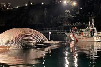 Une énorme baleine morte découverte près de Naples)