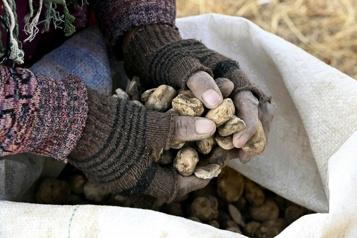 Le chuño, secret pour rendre les pommes de terre «éternelles»)