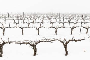 Vins québécois Les producteurs manquent de vignes)