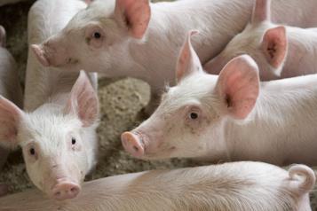 Conflit chez Olymel Les éleveurs de porc demandent au ministre Boulet d'intervenir)