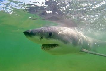 Un homme tué par un requin en Australie )