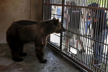 Deux ours quittent le Liban pour une nouvelle vie aux États-Unis)