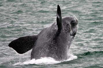 Protection des baleines noires Des restrictions sur la vitesse des navires demandées)