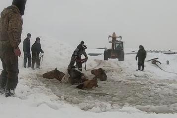 Russie: des chevaux pris dans l'eau glacée sauvés par des fermiers