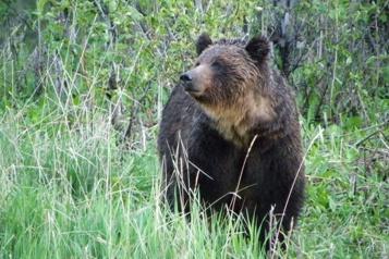 Colombie-Britannique Un homme attaqué sur son terrain par un grizzli)
