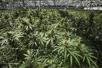 CannTrust détruira pour 77millions$ de plantes et produits