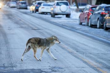 Edmonton Faire fuir les coyotes en jouant au Bonhomme Sept Heures )