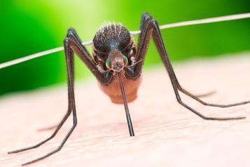 Une maladie transportée par des moustiques fait des ravages
