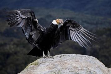 Menacé d'extinction Colombie: recensement inédit du condor des Andes)