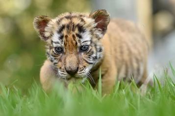 Des ONG dénoncent les exportations de tigres depuis l'UE)