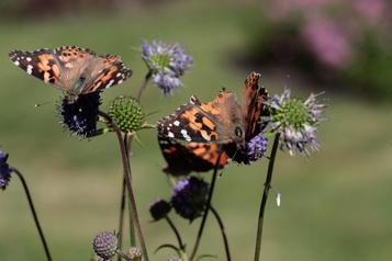 Les papillons donnent un dernier spectacle avant la migration