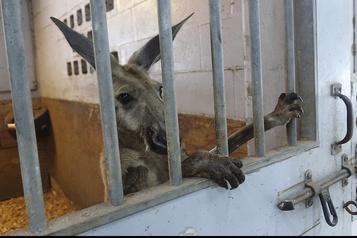 Un kangourou en liberté sème la pagaille en Floride)