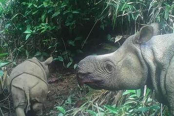 Espèce en voie d'extinction Deux bébés rhinocéros de Java repérés dans un parc indonésien)