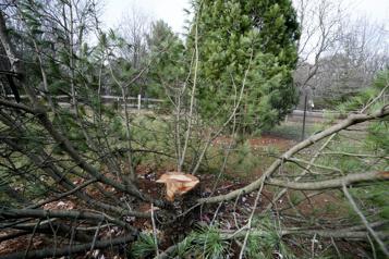 Wisconsin Des étudiants volent un arbre rare et le découpent )