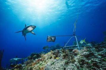 Des caméras sous-marines révèlent le déclin «inquiétant» des populations de requins)