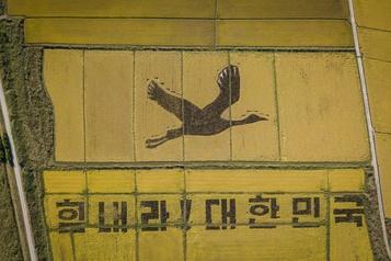 Des rizières deviennent œuvres d'art en Corée du Sud)