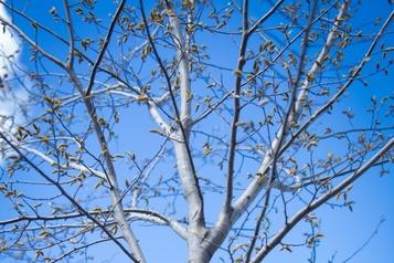 Jamais sans mon arbre à Laval)