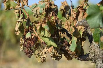 Grèce : les vignerons mesurent les conséquences de la chaleur extrême