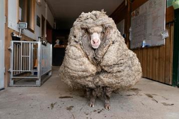 Australie Un mouton délesté de son pelage de 35kg)
