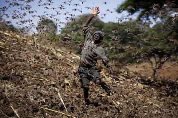 Les locustes continuent à ravager le Kenya)