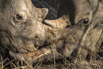 Braconnage : plus un seul rhinocéros au Botswana d'ici 2021 ?