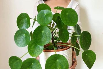 La plante du mois : le pilea porte-bonheur