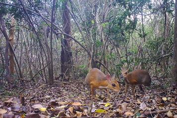 Un chevrotain disparu découvert au Vietnam