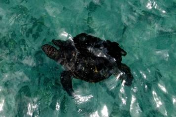 Chypre Des plongeurs sauvent une tortue en lui faisant un massage cardiaque)