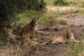 La Tanzanie va relocaliser 36 lions après des attaques contre humains et bétail