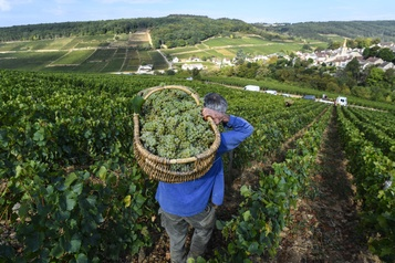 Bourgogne: le millésime2020 s'annonce remarquable)