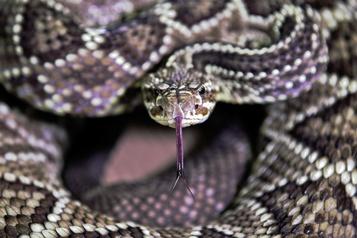 Une éclosion de salmonellose serait liée à des serpents et des rongeurs
