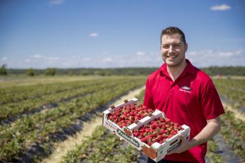 Saison hâtive Les champs de fraises débordent)