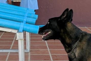 Cambodge Des démineurs entraînent leurs chiens à renifler la COVID-19