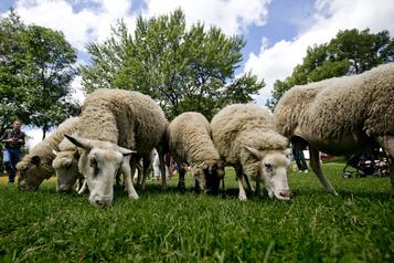 Les moutons urbains de retour à Montréal)