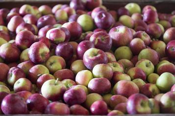 Des pommes moins nombreuses, mais de meilleure qualité en 2019