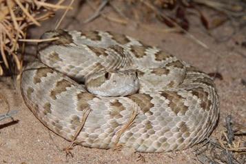 Le froid ralentit peu les serpents à sonnette)