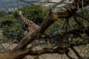 Le Kenya recense sa faune sauvage)