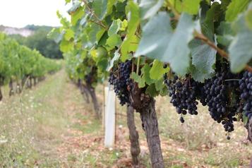 Les viticulteurs bourguignons déçus par les mesures d'aide)