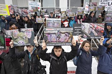 Sit-in dans une porcherie: les activistes véganes plaident non coupable
